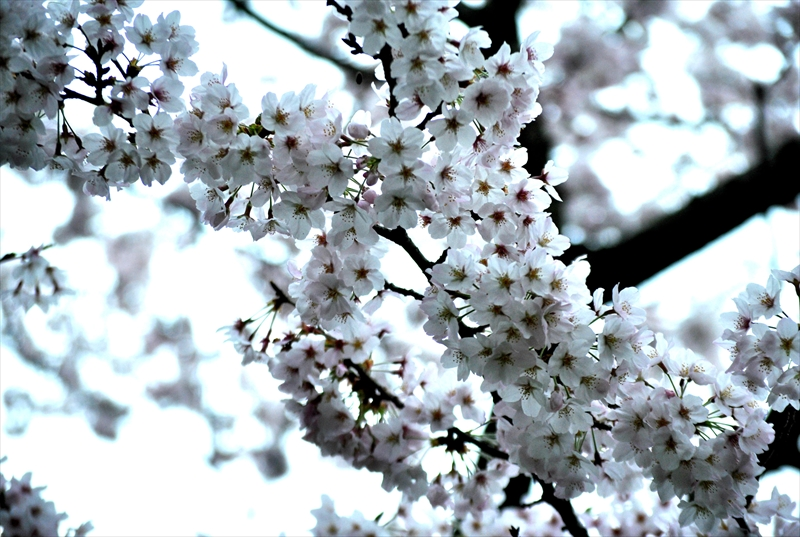 sakuraa008_R.jpg