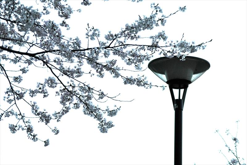 sakuraa010_R.jpg